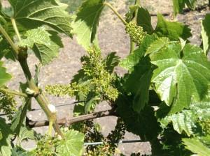 Vineyard Flowering in the Edna Valley: Estate Riesling