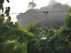 Spider web in Estate Riesling Vineyard