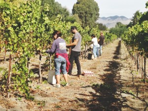 Claiborne & Churchill Staff Picking the Estate late harvestRiesling