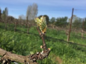 claiborne and churchill, bud break, vineyard, winery, Q & A with the Winemaker, Interview with the Winemaker