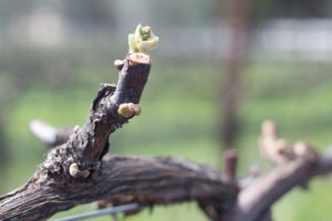 Claiborne & Churchill, Vines, Bud Break