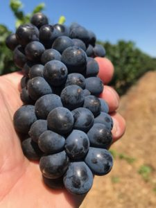 Pinot Noir, Pommard: Greengate Ranch & Vineyard