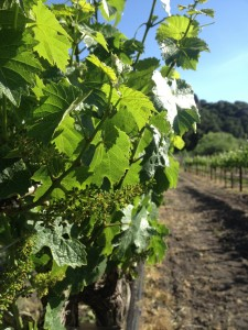 Vineyard Flowering in the Edna Valley: Estate Riesling
