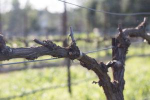 Claiborne & Churchill, Pruning, Vines