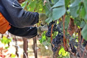 Harvesting Estate Pinot Noir